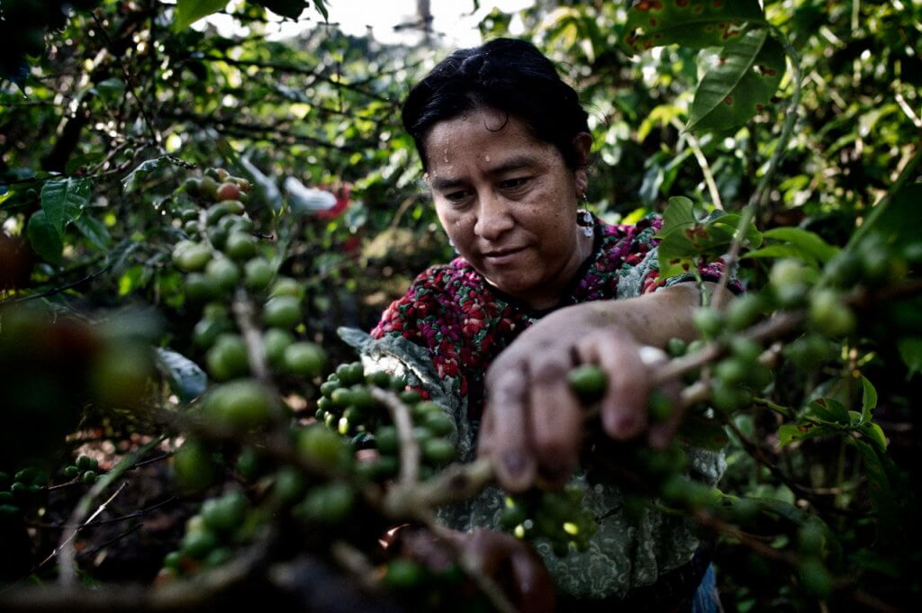 Aldea Xojola, Altiplano, Guatemala. October 2010. Maria Cuc, 42 years old is collecting organic coffee beans. Maria is in the board of Cooperativa Renacimiento, an organization working under theumbrella of (FECCEG) La Federación Comercializadora de Café Especial de Guatemala. FECCEG is an organization that seeks the integration of families of small farmers and promotes value-added processes for coffee, and the diversification of local organizations, always considering aspects of cultural, local and environmental sustainability.